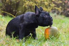 法国牛头犬和南瓜 库存照片