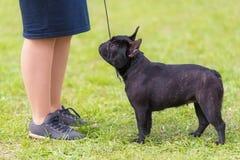法国牛头犬在公园 图库摄影