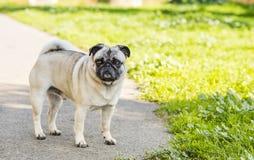 法国牛头犬在公园 免版税图库摄影