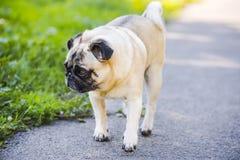 法国牛头犬在公园 库存照片