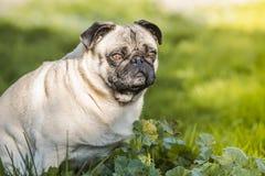 法国牛头犬在公园 免版税库存图片