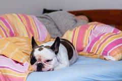 法国牛头犬在床上 库存照片