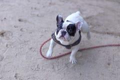 法国牛头犬在海滩享用 免版税库存图片