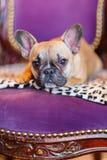 法国牛头犬小狗在一把古色古香的扶手椅子说谎 免版税库存照片