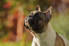法国牛头犬画象特写镜头在秋天背景的 免版税库存图片