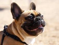 法国牛头犬配置文件 免版税库存照片