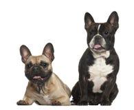 法国牛头犬, 18个月,坐 库存图片