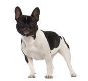 法国牛头犬, 2岁,纵向 免版税库存照片