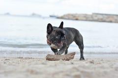 法国牛头犬 免版税库存图片