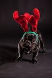 法国牛头犬佩带的鹿角 免版税库存图片