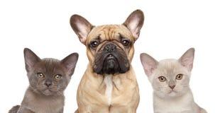法国牛头犬和两只小猫 图库摄影