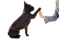 法国牛头犬和爪子 免版税库存照片