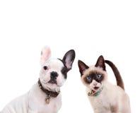 法国牛头犬和birmanese猫 库存照片