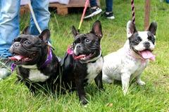 法国牛头犬小狗在公园 免版税图库摄影
