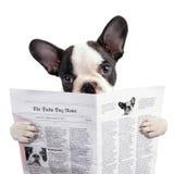 法国牛头犬小狗读书报纸 库存照片