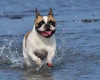 法国牛头犬游泳2 库存图片