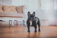 法国牛头犬狗 免版税库存照片