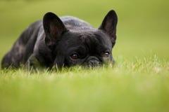 法国牛头犬男性画象 免版税库存照片