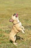 法国牛头犬立场以绿色 免版税图库摄影