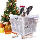 法国牛头犬读书报纸在圣诞树下 免版税图库摄影