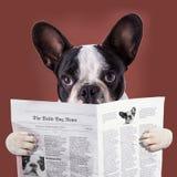 法国牛头犬读书报纸 库存图片