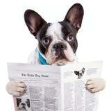 法国牛头犬读书报纸 免版税库存图片
