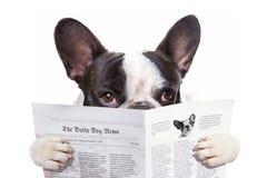 法国牛头犬读书报纸 图库摄影