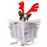 法国牛头犬读书报纸 库存照片