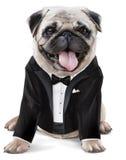 法国牛头犬绅士 免版税库存照片