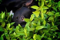 法国牛头犬 库存图片