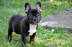 法国牛头犬 免版税图库摄影