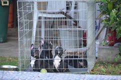 法国牛头犬 库存照片