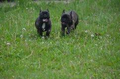法国牛头犬 免版税库存照片