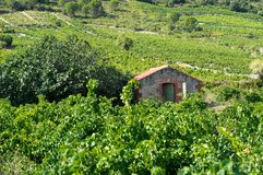 法国的南部的老葡萄园 免版税库存图片