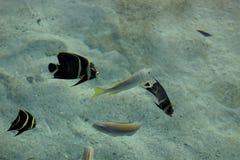 法国神仙鱼在海 库存照片