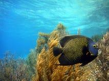 法国神仙鱼 库存照片