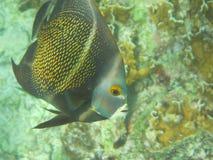 法国神仙鱼Pomacanthus paru 免版税库存照片