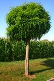 法国结构树 免版税库存照片