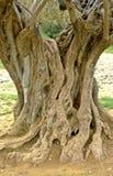 法国老橄榄树 库存照片