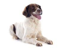 法国西班牙猎狗 库存照片