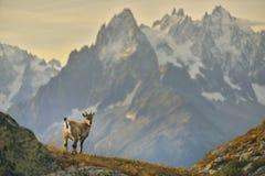从法国阿尔卑斯的幼小高地山羊 库存图片