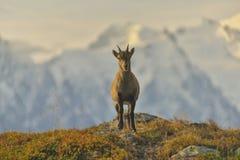 从法国阿尔卑斯的幼小高地山羊 免版税库存图片