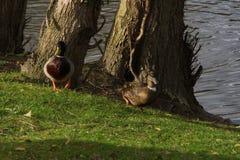 法国- Elancourt -走在湖附近的两只鸭子 正面图 免版税库存图片