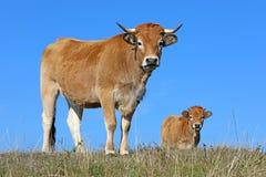 法国Aubrac母牛 免版税库存图片