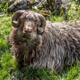 从法罗岛的绵羊有垫铁裁减的 免版税库存照片