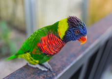 法院鹦鹉,五颜六色的鹦鹉,美丽的鹦鹉,太阳conure 免版税库存图片