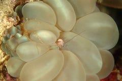 泡影珊瑚虾, Mabul海岛,沙巴 图库摄影