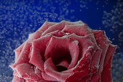 泡影的罗斯 花和水 化妆用品的概念, 图库摄影