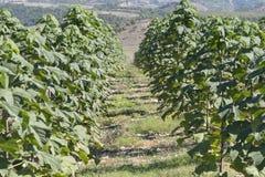 泡桐属树种植园,阿尔巴尼亚 库存图片