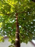 泡桐属树 库存照片